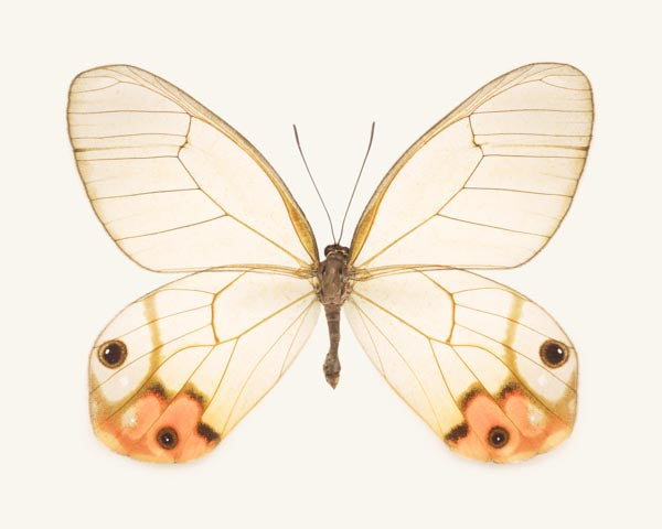 Fine art photography print of an orange glasswing butterfly, Haetera piera negra