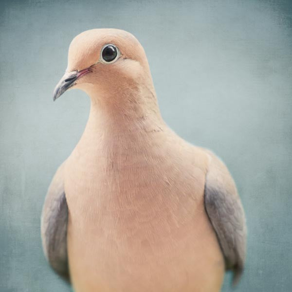 Fine art bird portrait print of a Mourning Dove