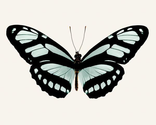 Philaertia Dido butterfly photo print