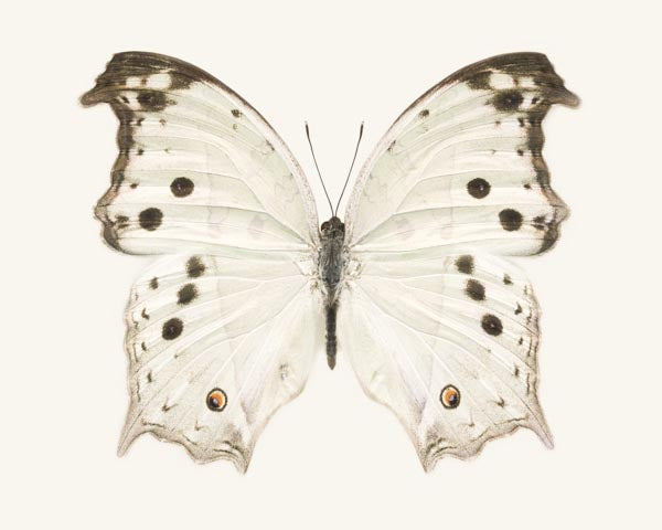 Fine art photography print of a white butterfly Salamis parhassus, the mother-of-pearl butterfly