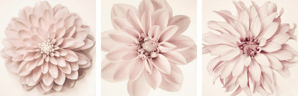 Set of 3 pink dahlia photography prints