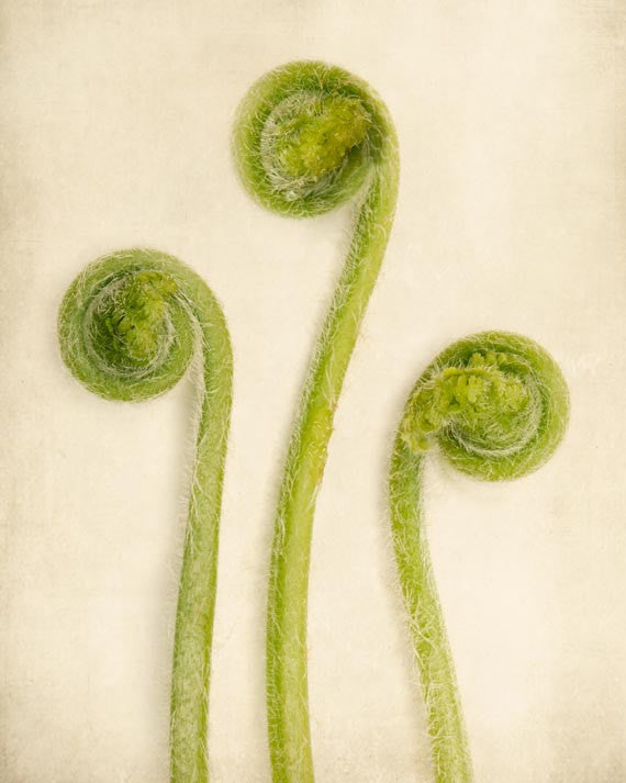 Baby Ferns Unfurling Botanical Print