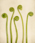 Baby Ferns Botanical Art Print