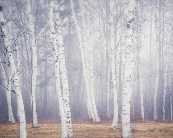 Birch Trees Photography Print