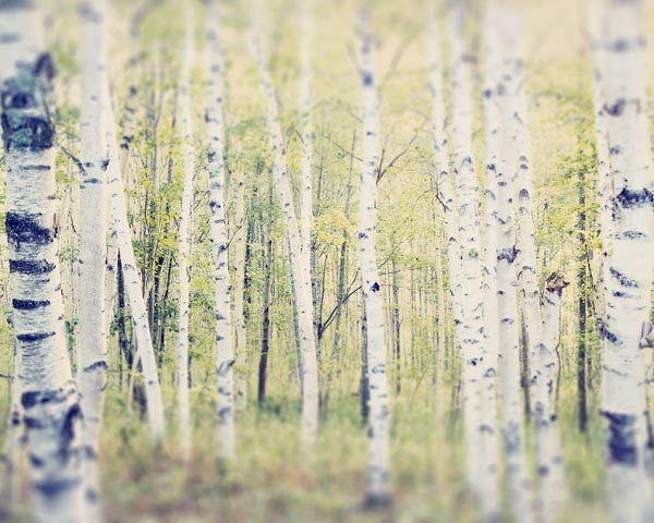 Birch Trees Landscape Photography Print