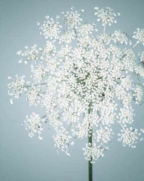 Fine art flower photography print of queen anne's lace