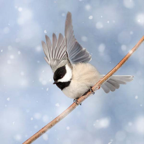 Chickadee in Snow Bird Photography Print by Allison Trentelman