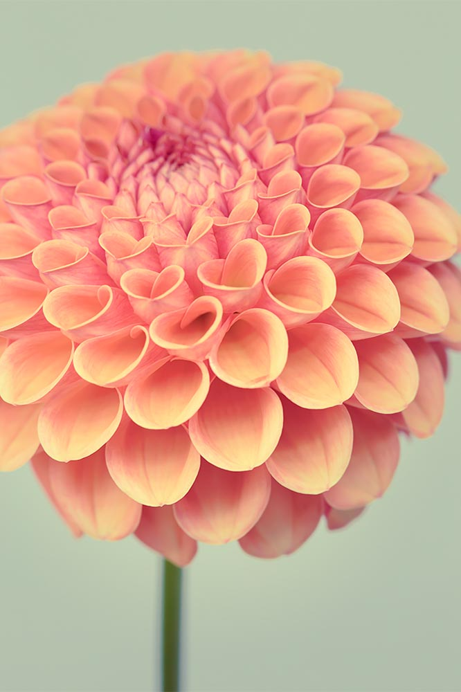 Dahlia Fine Art Flower Photography Print