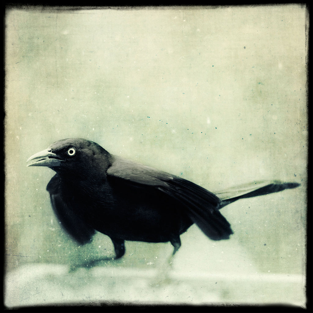 Grackle No. 7