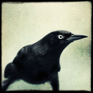 Grackle No. 10