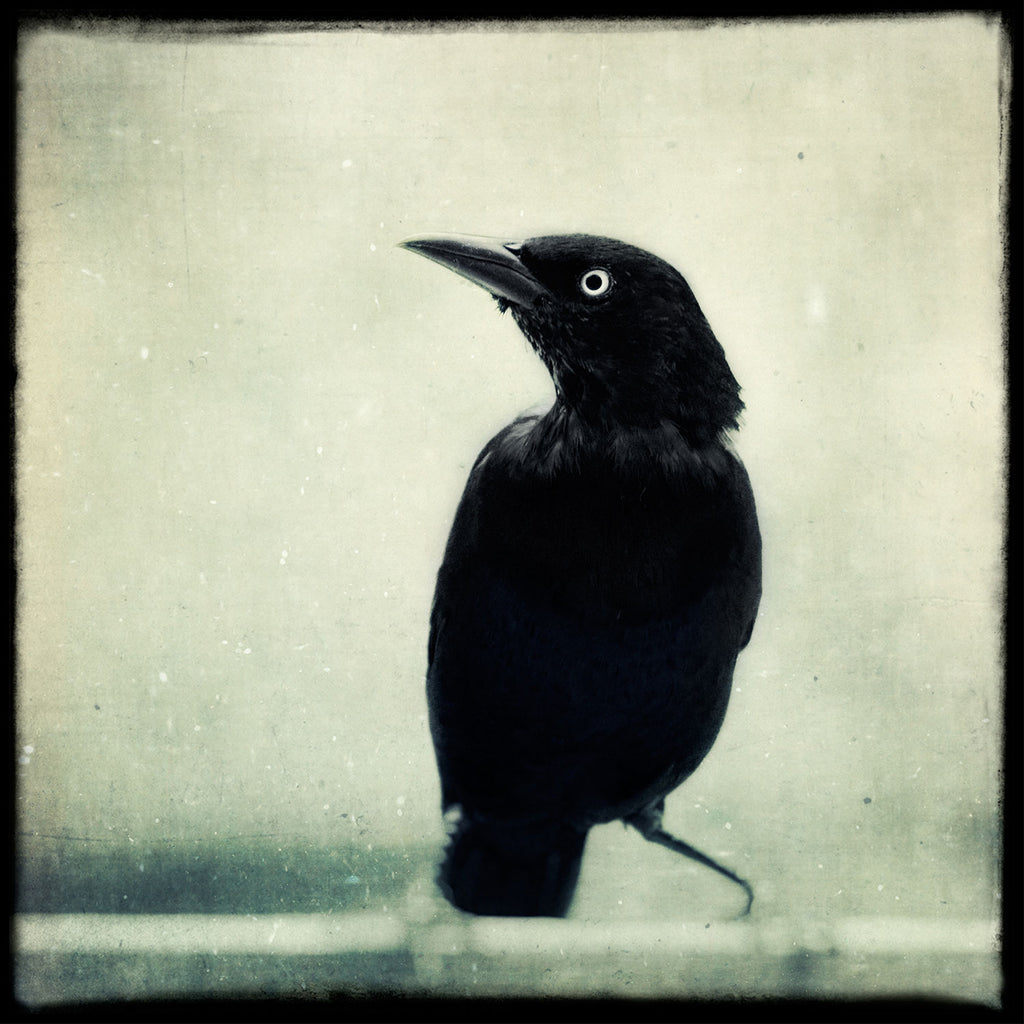 Grackle No. 6