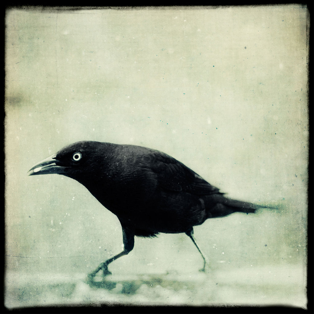 Grackle No. 5