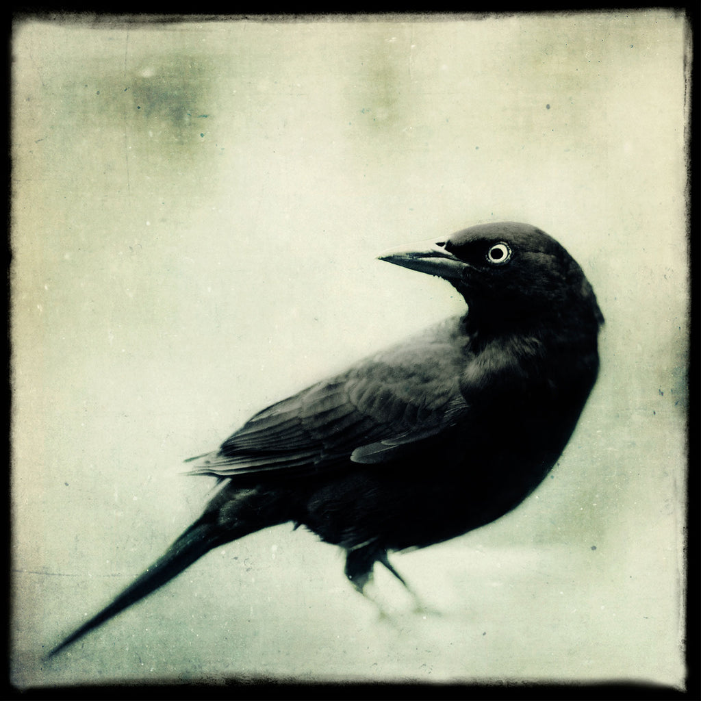 Grackle No. 2