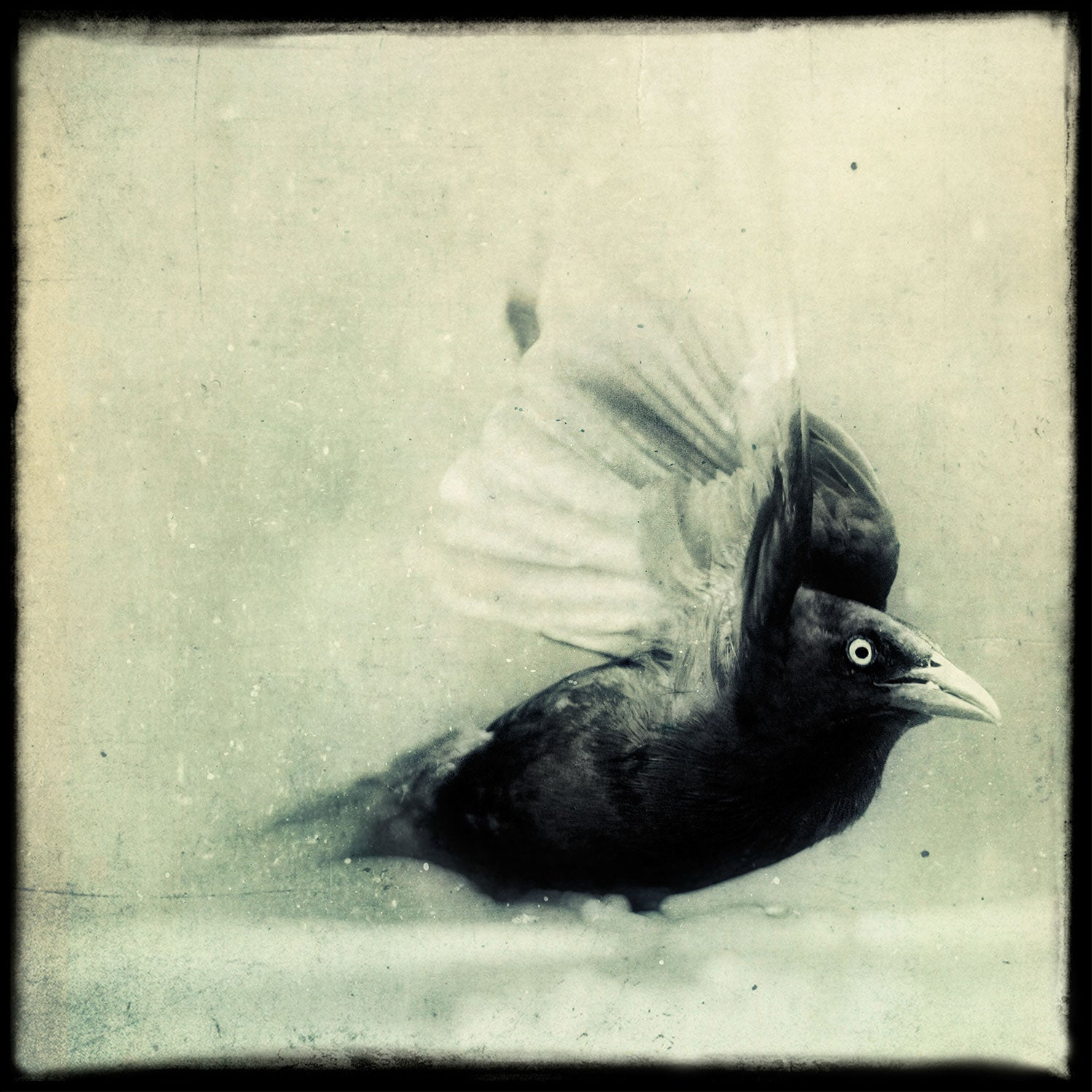 Grackle No. 4