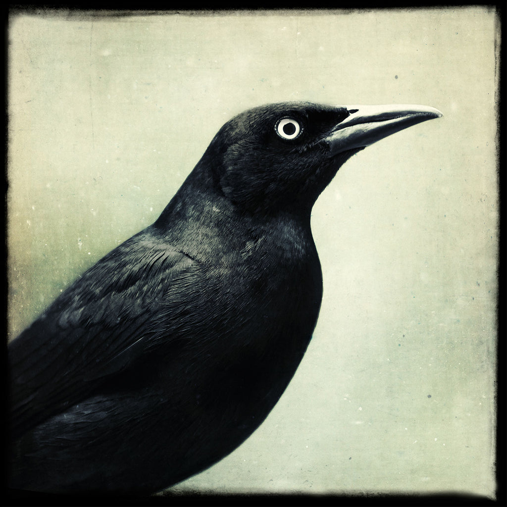 Grackle No. 11