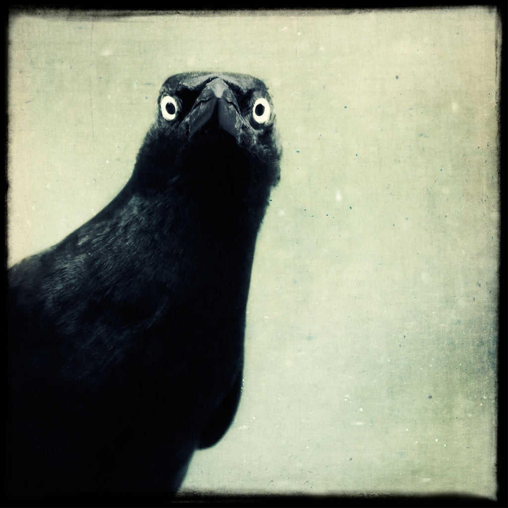 Grackle No. 12