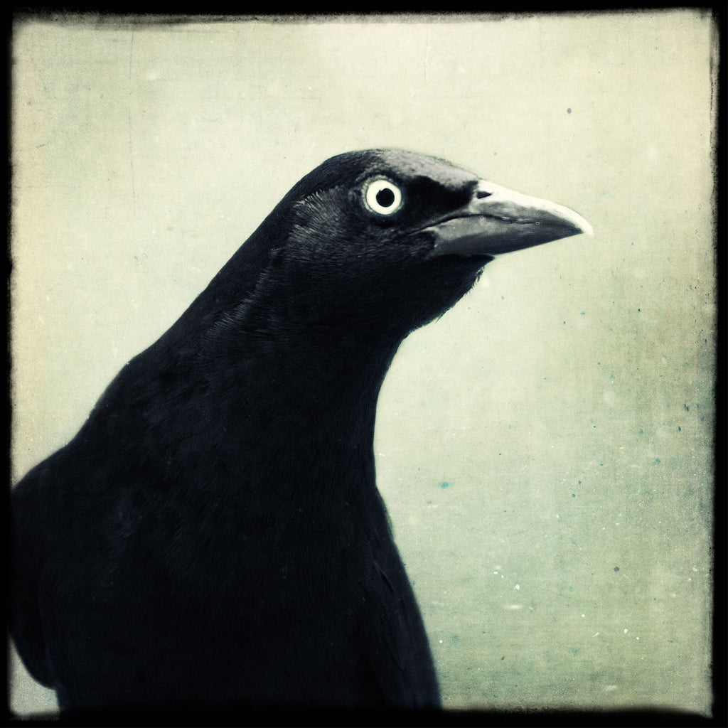 Grackle No. 13