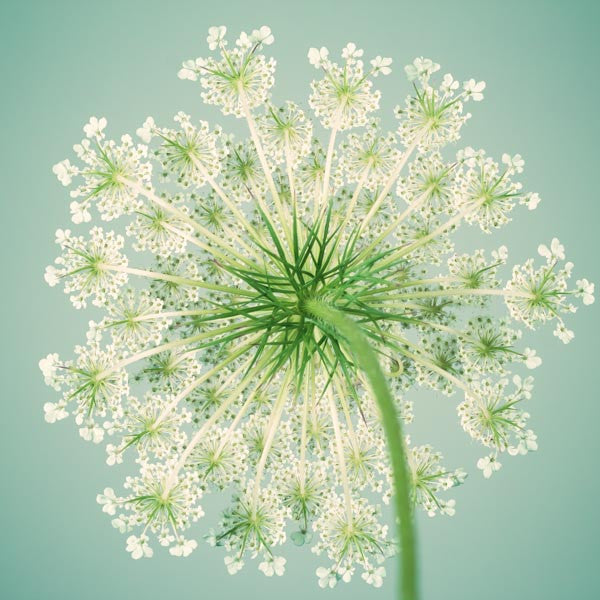 Flower Photography Art Print of Queen Anne's Lace