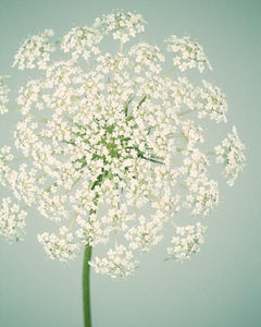 Queen anne's lace flower photography print in teal and white