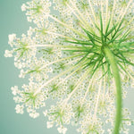 Queen Anne's Lace Flower Photography Art Print