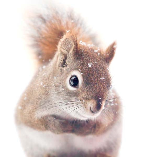 Red Squirrel In Snow Fine Art Photography Print By