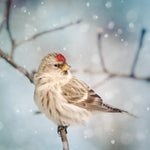 Redpoll in Snow Fine Art Print