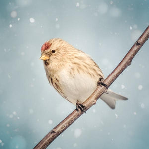 Redpoll in Snow Bird Photography Print
