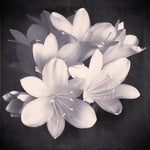Black and White Flower Photography Clivia