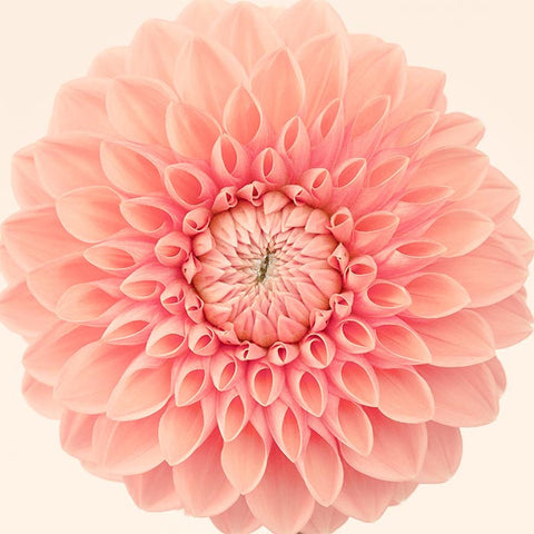Dahlia flower art print in orange
