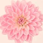 Pink dahlia flower wall art print