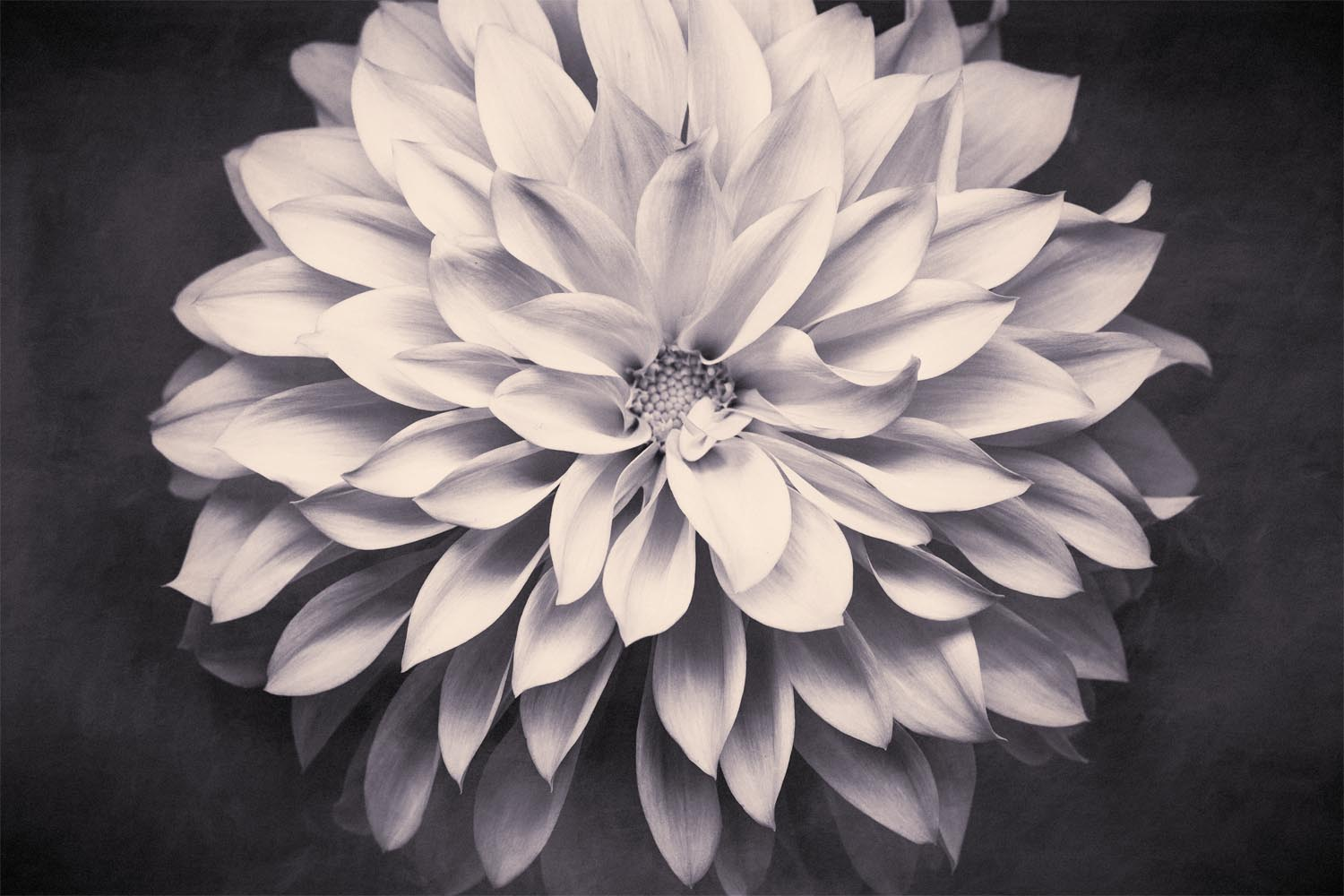 Black and White Flower Photography Dahlia Print