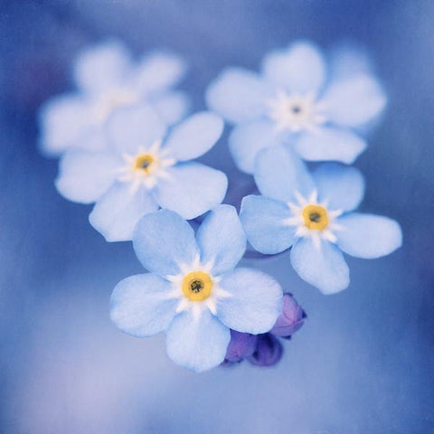 Macro photograph of forget-me-not flowers