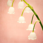 Lily of the Valley flower photography print