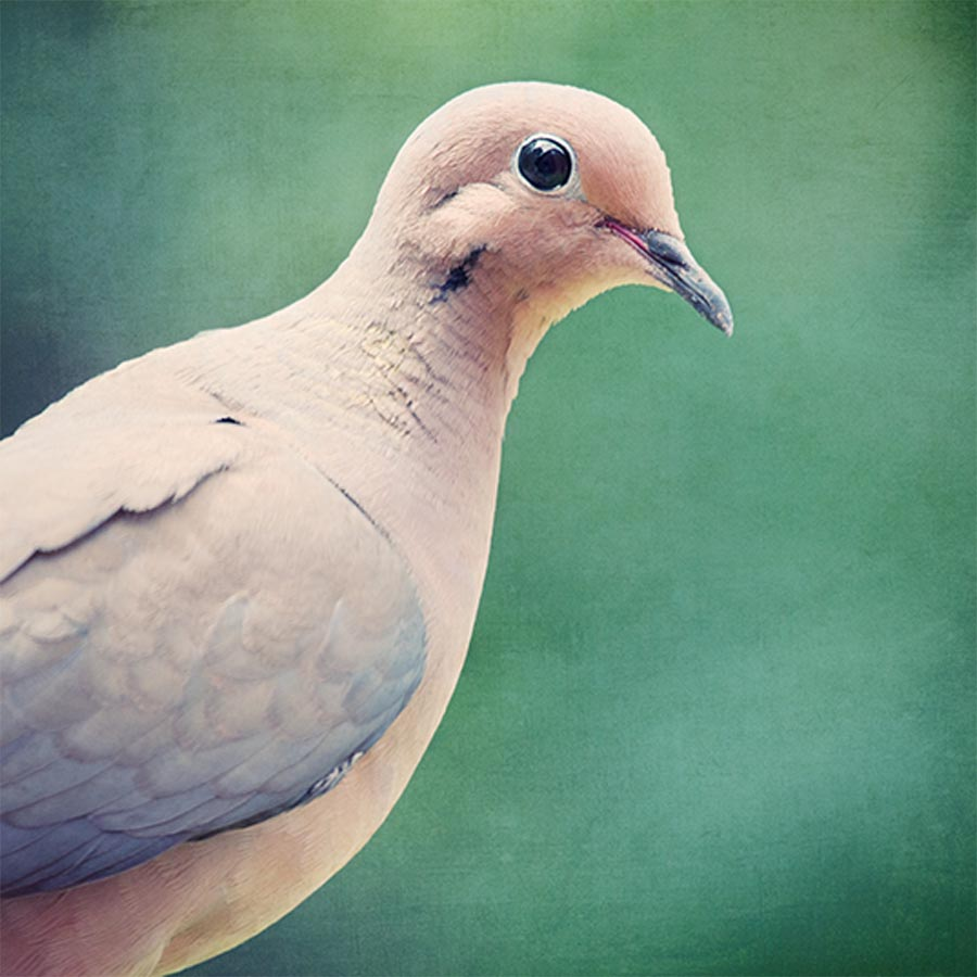 Bird Wall Art, Nursery Decor, Mourning Dove Print