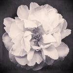 Black and White Flower Photography Peony Print