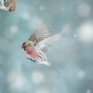 Redpoll in Snow Photo