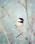 Chickadee in Snow Bird Print