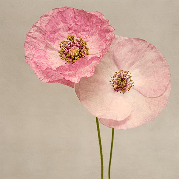 Fine art photography print of shirley poppies