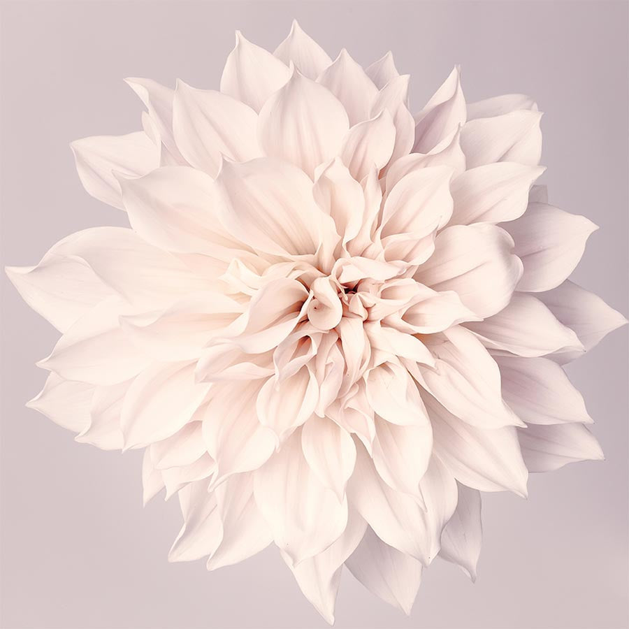 Dahlia flower wall art print in neutral colors