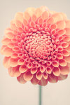 "Fine Art Flower Photography Print ""Dahlia No. 35"""