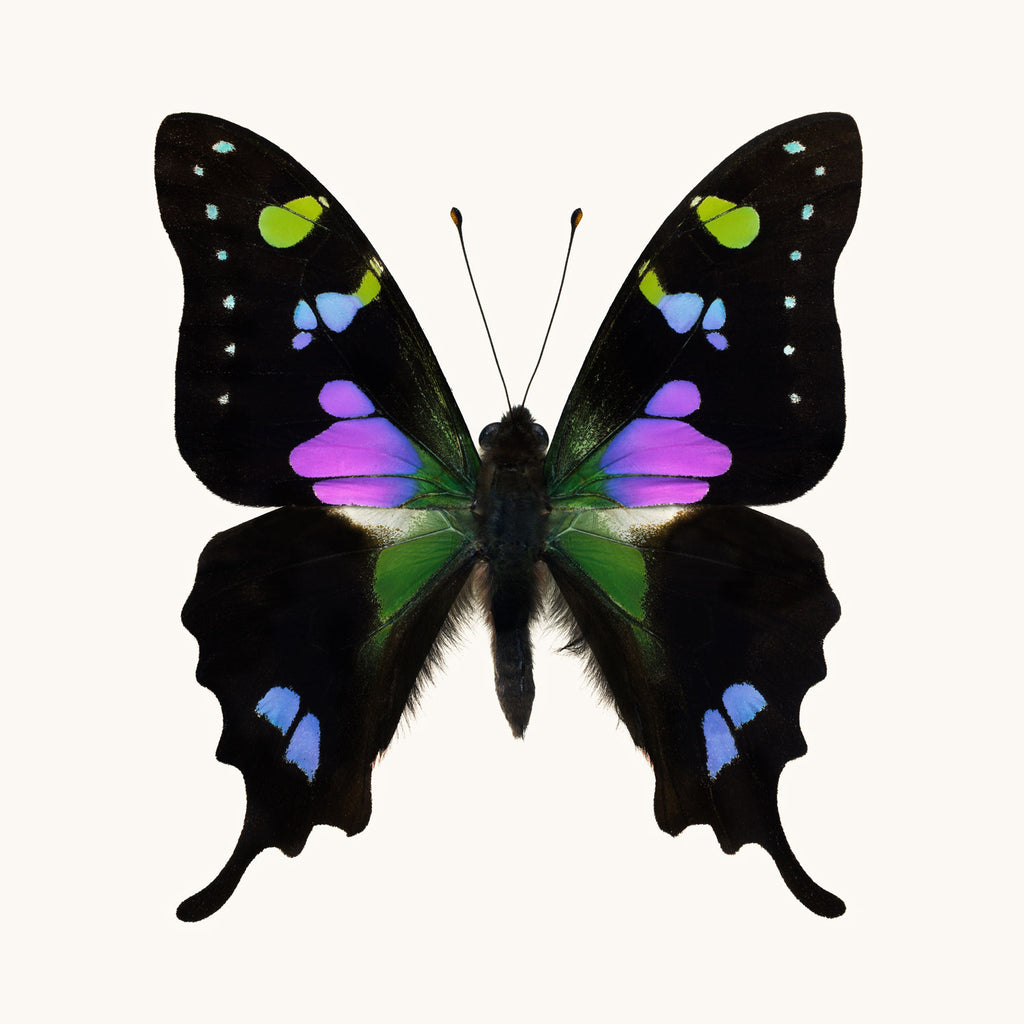 SQ Butterfly No. 10 - Purple Spotted Swallowtail