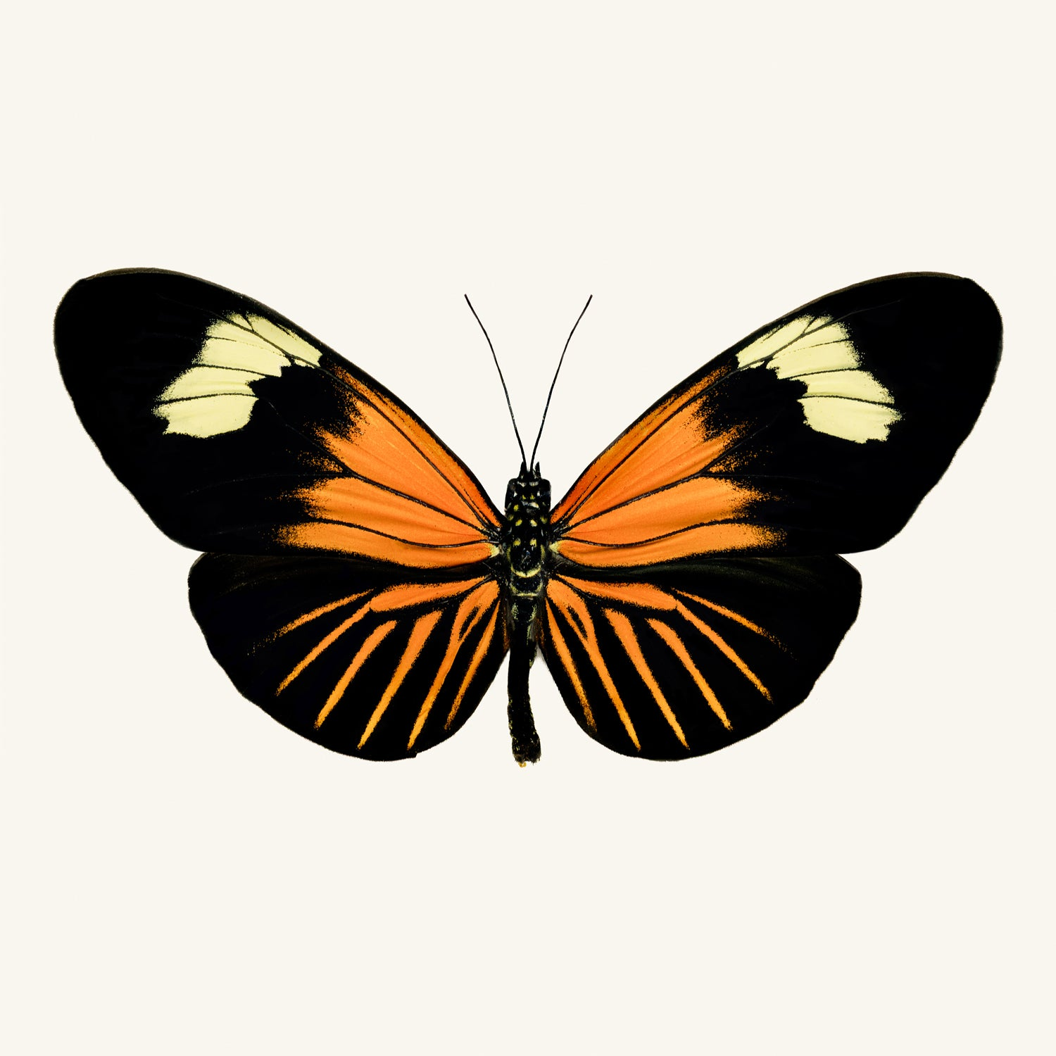 SQ Butterfly No. 13 - Orange Longwing Butterfly