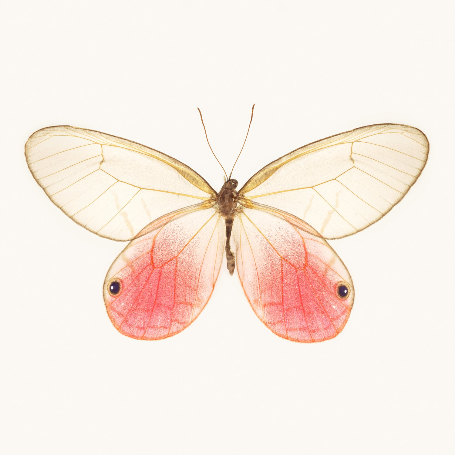 SQ Butterfly No. 1 - Pink Glasswing Butterfly