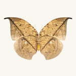 SQ Butterfly No. 11 - Leafwing Butterfly
