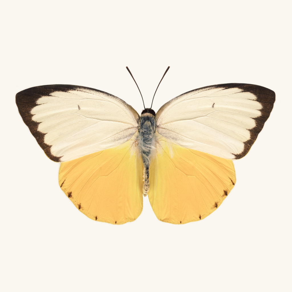 SQ Butterfly No. 7 - Orange Migrant Butterfly