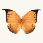 SQ Butterfly No. 8 - Orange Leafwing