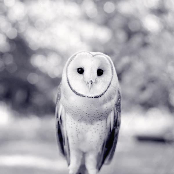 Black and White Barn Owl Print