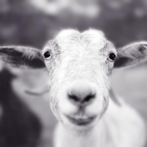 Black and White Goat Print