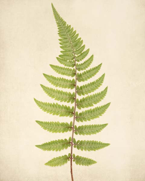 "Fern Art, Botanical Print ""Fern No. 4"""