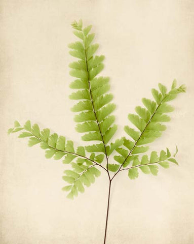 "Fern Art, Botanical Print ""Maidenhair Fern"""